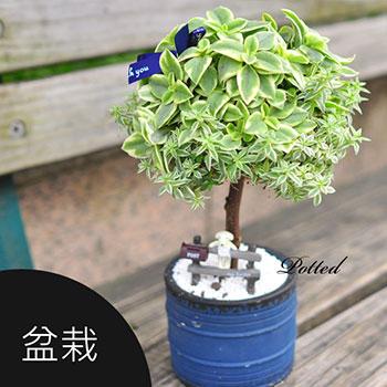 盆栽,旺旺樹,盆景