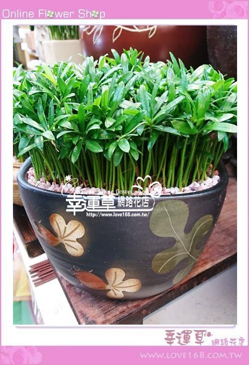 羅漢松盆栽E0219
