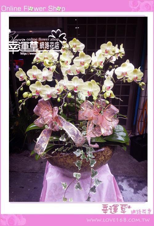 D027富樂蝴蝶蘭花10株