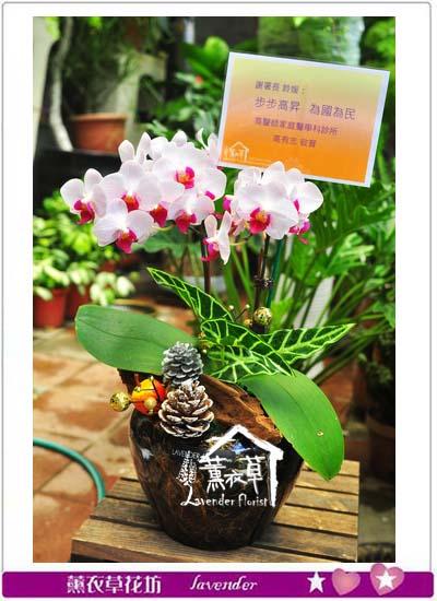 高雅蝴蝶蘭b032503