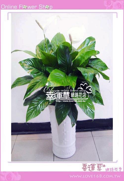 E22白鶴羽盆栽