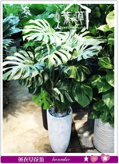 蔓綠絨盆栽 106102507