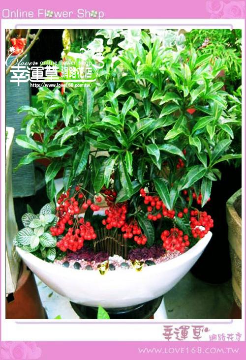 E56黃金萬兩盆栽
