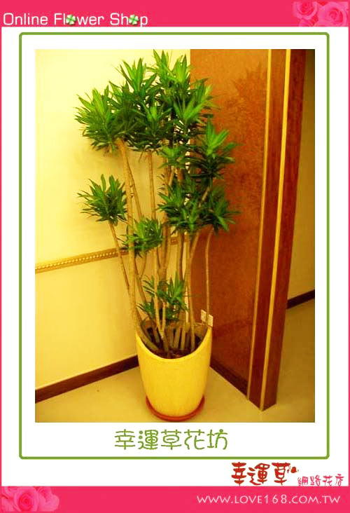 E09百合竹盆栽