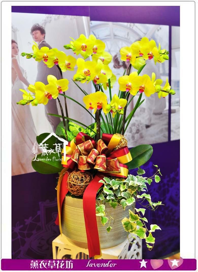 黃金蝴蝶蘭盆栽A102905