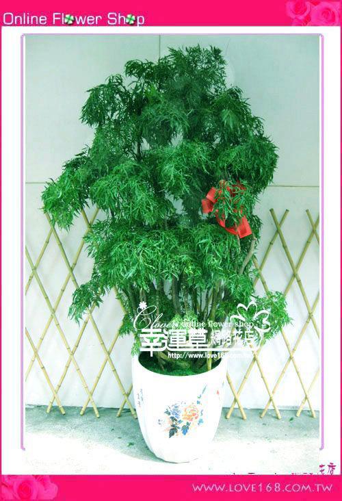 E61富貴樹盆栽