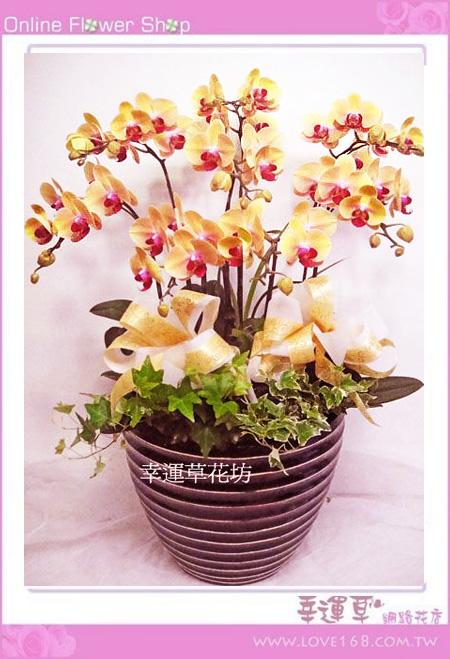 D051優質蘭花8株