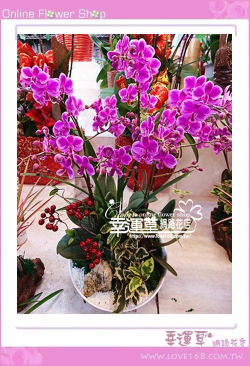 D1227優質蘭花3株