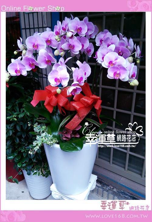 D0110優質蘭花7株