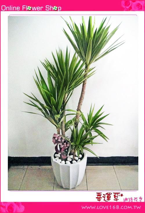 E04大型尤加利盆栽