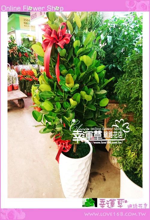 福樹盆栽E1229