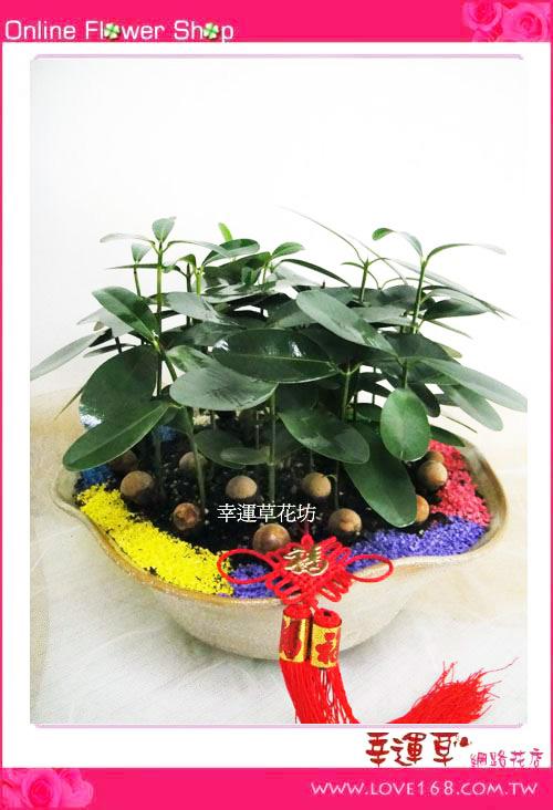 E02龍珠盆栽