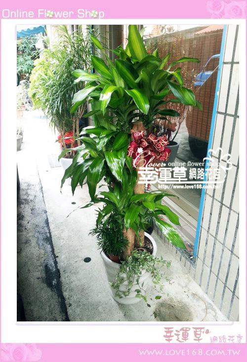 E76巴西鐵樹盆栽