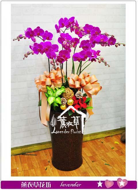 高雅蝴蝶蘭 B111606