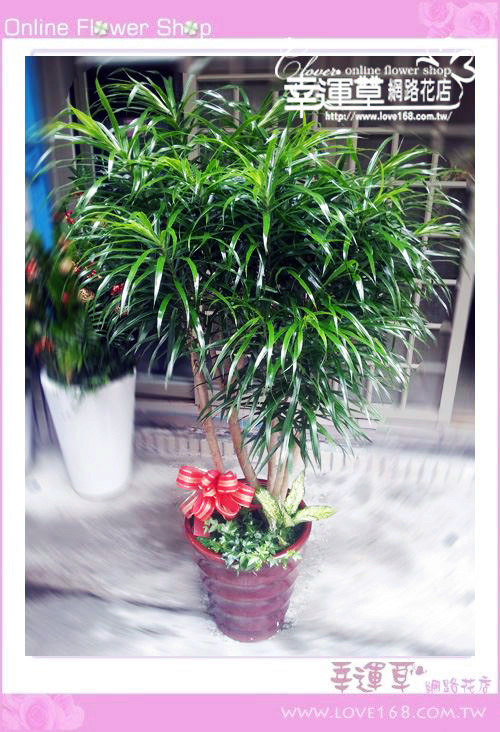 E95百合竹盆栽