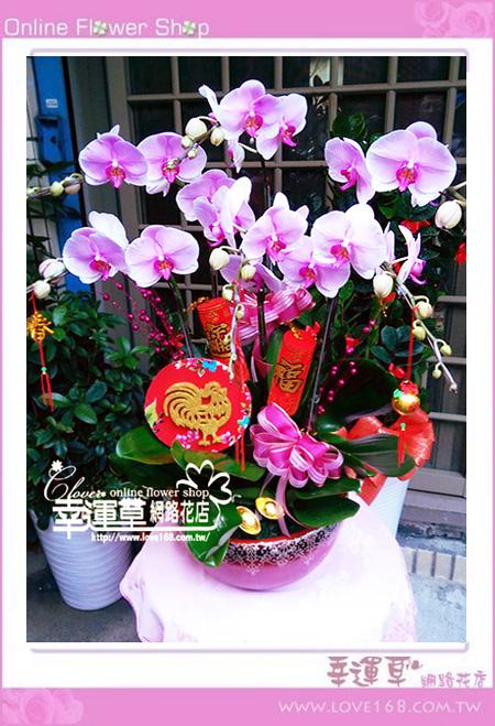 D0107優質蘭花6株
