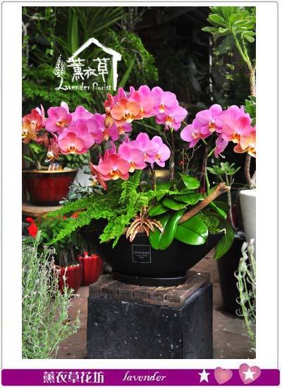 蝴蝶蘭/蘭花/設計 107081015