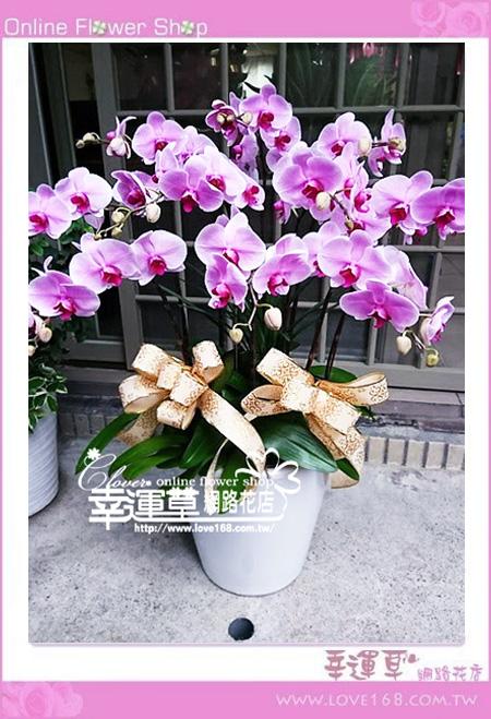 優質蘭花8株D0105