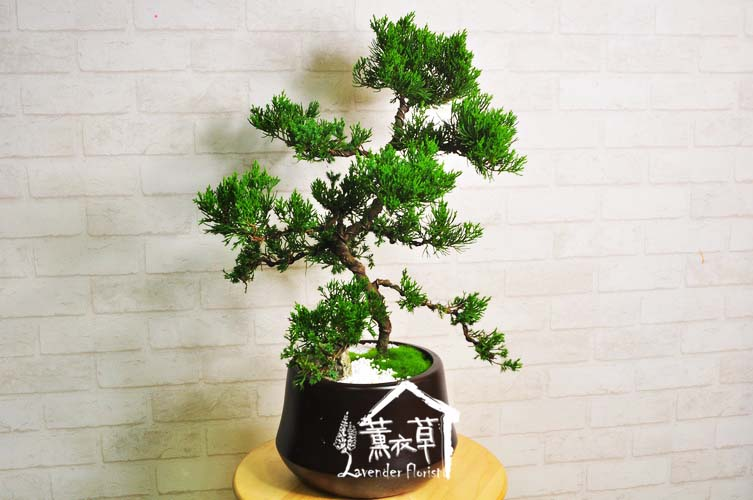 松柏盆栽106010805