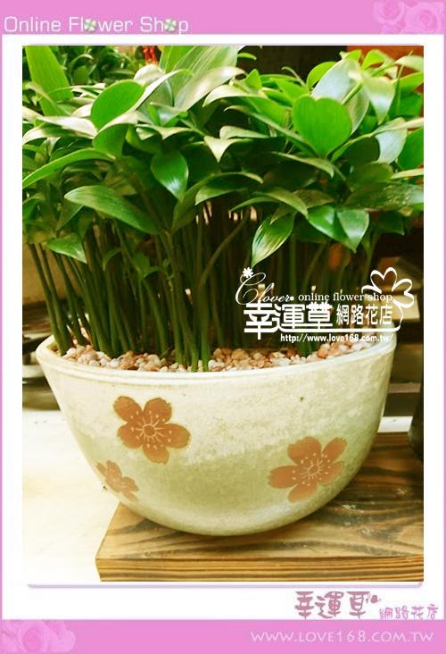 羅漢松盆栽E0218