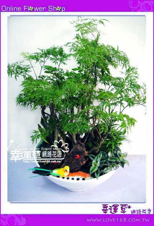 E59富貴樹盆栽