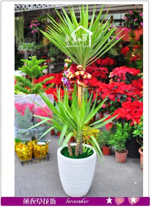 尤加利盆栽c121608