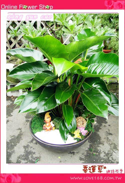 E05金鑽盆栽