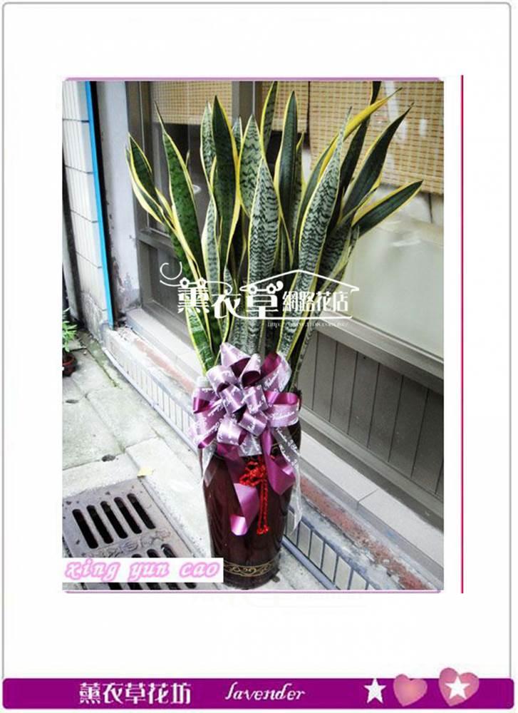 虎尾蘭盆栽y34279