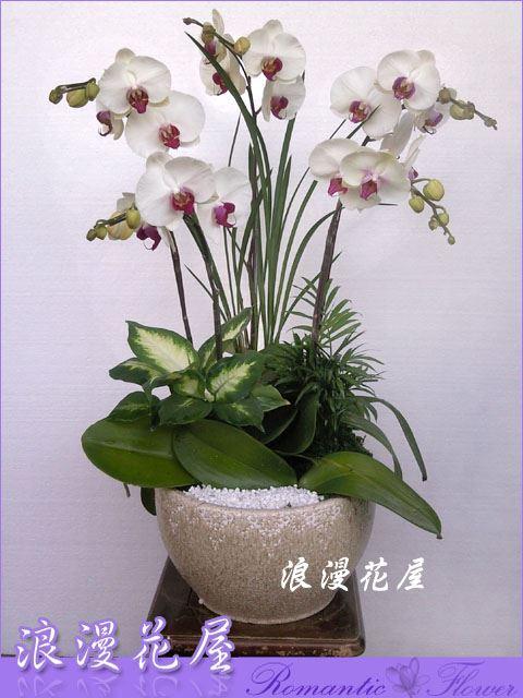 D42高雅蝴蝶蘭