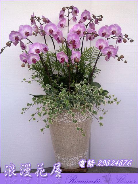 D68豪華蘭花