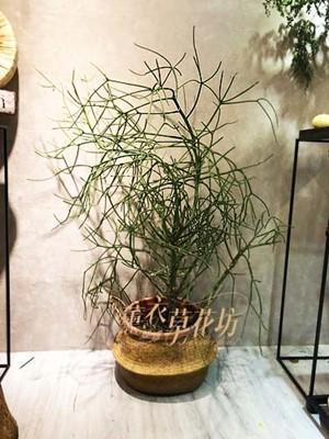 珊瑚樹盆栽107101807