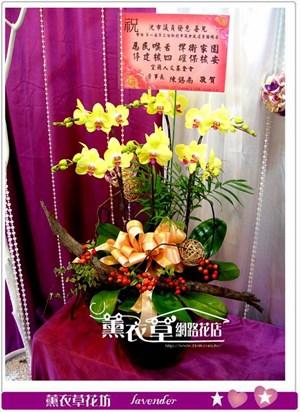高雅蝴蝶蘭6朱y33541