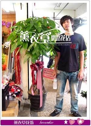 發財樹盆栽y4668