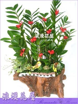 金錢樹盆栽 3-79