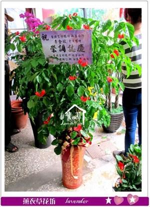 旺旺樹盆栽c090123
