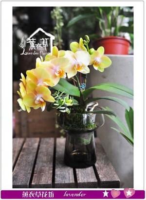 蝴蝶蘭設計 -一盆 107070301