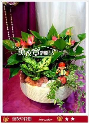 火鶴盆栽y32895