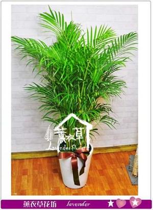 黃椰子 盆栽 106081621