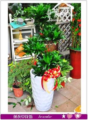 阿波羅 盆栽 106092209
