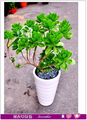 白水木盆栽c082509