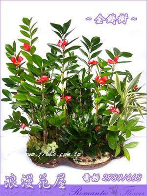 金錢樹組合盆栽 3-60
