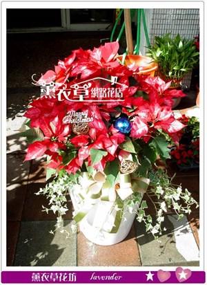聖誕紅設計!聖誕節限定款y33192