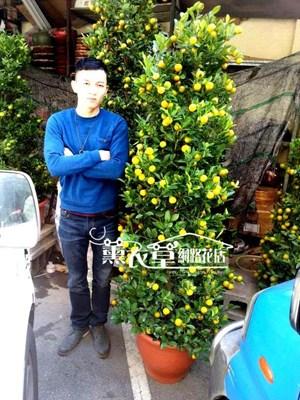 金桔樹~大y34030