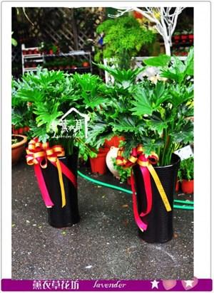 蜜葉天使盆栽一盆b032527