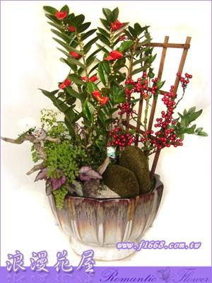 造型金錢樹盆栽3-17