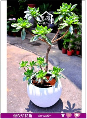 白水木盆栽c082811