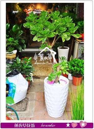 白水木盆栽 107070703