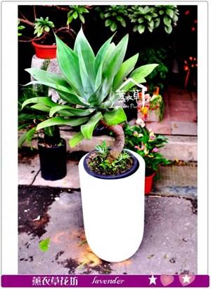 龍舌蘭盆栽c100502