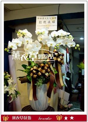 高雅蝴蝶蘭7朱y2557