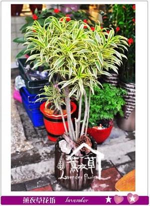 百合竹盆栽 106022403